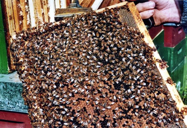 Telaio di api